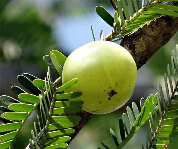 Amla - 13 Natural Herbs That Can Stimulate Hair Growth