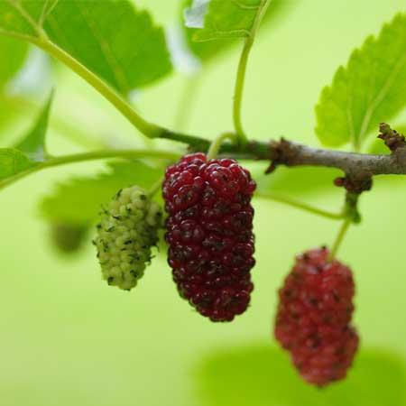 Mulberry Fruit/ Mulberries (Morus alba)
