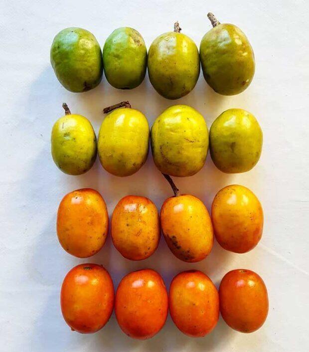 11 Health Benefits of Jocote (Spanish Plum) & Nutritional Facts